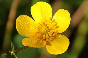 carolina-buttercup-ranunculus-carolinianus-dale-bargmann