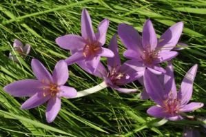meadow-saffron-b
